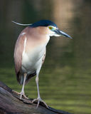 Black Crown Night Heron - Intense Look Stock Images