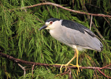 Black Crown Night Heron Stock Photography