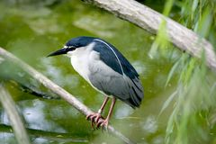 Black-crowned Royalty Free Stock Images