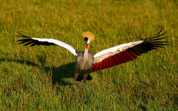 Black Crowned Crane Royalty Free Stock Images