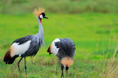 Free Black Crowned Crane Royalty Free Stock Image - 14179076