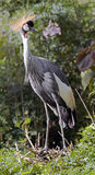 Black crowned crane 2 Stock Image