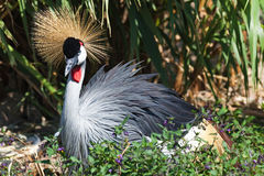Black Crowned Crane Royalty Free Stock Image
