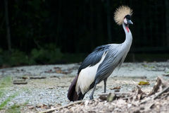 Black Crowned Crane Royalty Free Stock Photos