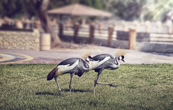 Black Crowned Crane Stock Photos