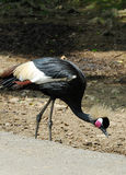 Black Crowned Crane. (Balearica pavonina Stock Images