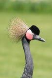 Black Crowned Crane (Balearica pavonina) Stock Images