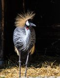 Black Crowned Crane, Balearica pavonina in the zoo. The Black Crowned Crane, Balearica pavonina is a bird in the crane family Gruidae stock photo
