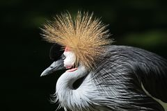 Black Crowned Crane, Balearica pavonina in the zoo. The Black Crowned Crane, Balearica pavonina is a bird in the crane family Gruidae royalty free stock photo