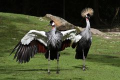 Black Crowned Crane, Balearica pavonina in the zoo. The Black Crowned Crane, Balearica pavonina is a bird in the crane family Gruidae royalty free stock photography