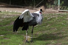 Black Crowned Crane, Balearica pavonina in the zoo. The Black Crowned Crane, Balearica pavonina is a bird in the crane family Gruidae royalty free stock image