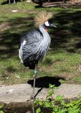 Black Crowned Crane, Balearica pavonina in the zoo. The Black Crowned Crane, Balearica pavonina is a bird in the crane family Gruidae stock image