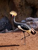 The black crowned crane Balearica pavonina. On a background of stones stock images
