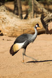 Black-crowned Crane - Balearica pavonina. Cranes important show beauty on open air stock photo