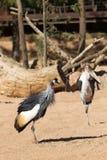 Black-crowned Crane - Balearica pavonina Stock Photo