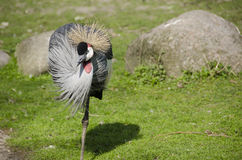 Black Crowned Crane, Balearica pavonina Royalty Free Stock Photo