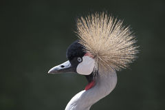 Black-crowned crane or Balearica pavonina Stock Photos