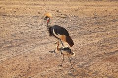 Black crowned crane Balearica pavonina and its fledgling baby royalty free stock images