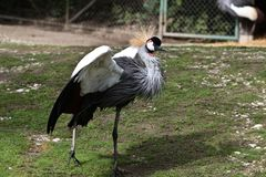 Black Crowned Crane, Balearica pavonina in the zoo. The Black Crowned Crane, Balearica pavonina is a bird in the crane family Gruidae stock photography