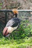 Black Crowned Crane is a bird in the crane family. Found in Savannah grasslands in Africa, south of the Sahara Desert royalty free stock photos