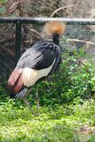 Black Crowned Crane is a bird in the crane family. stock photos
