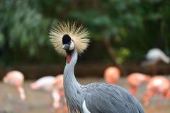 Black Crowned Crane Stock Photos
