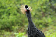 Black crowned crane Stock Photo