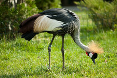 Black crowned crane on the green grass Stock Image