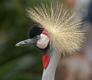 Black crowned crane 11 Royalty Free Stock Photography