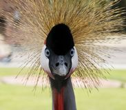 Black Crowned Crane. The Look. Royalty Free Stock Photography