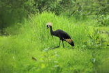 Black crowned crane Stock Image