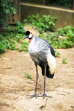 Black crowned crane Royalty Free Stock Photography