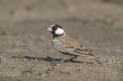 Black-crowned finch-lark, Eremopterix nigriceps Royalty Free Stock Photography