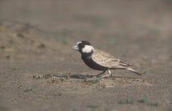 Black-crowned finch-lark, Eremopterix nigriceps Royalty Free Stock Images