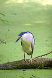 Black crowned heron Stock Image
