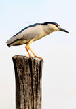 Black crowned heron Royalty Free Stock Image
