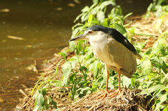 Black crowned heron Royalty Free Stock Photography