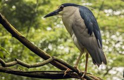 Black-crowned Heron Stock Photography