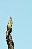 Black crowned heron Stock Photography