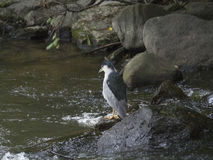 Black-crowned heron fishing on river Stock Photo