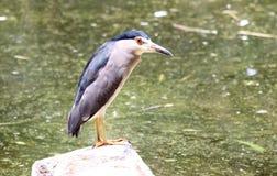 Black crowned heron Stock Image