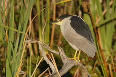 Black-crowned Heron Perched on a Branch - Florida Royalty Free Stock Photos