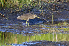 Black crowned heron. Royalty Free Stock Photos