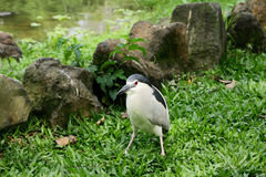 Black crowned heron stand on grassland Stock Images