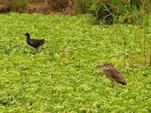 Black-crowned Night-Heron. Royalty Free Stock Images