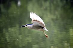 Black-crowned Night-Heron Stock Photos