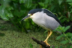 Black crowned night heron. (Nycticorax nycticorax) standing on log, Corkscrew Swamp Sanctuary stock image
