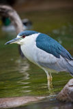 Black-crowned Night heron. Bird in water Royalty Free Stock Photo