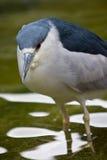 Black-crowned Night heron. Bird in water Royalty Free Stock Photography