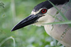 Black-crowned Night Heron Stock Photography